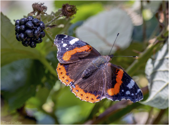 Red Admiral by pcoulson