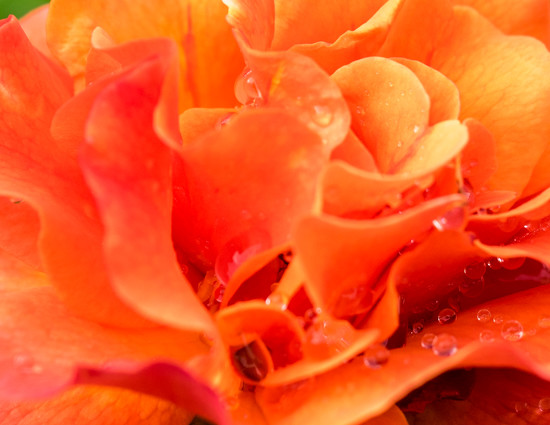 Orange Rose with Rain Drops by cdonohoue