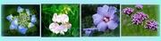 13th Sep 2017 - hydrangea, lathyrus, hibiscus, achillea