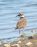 12th Sep 2017 - Killdeer Closeup