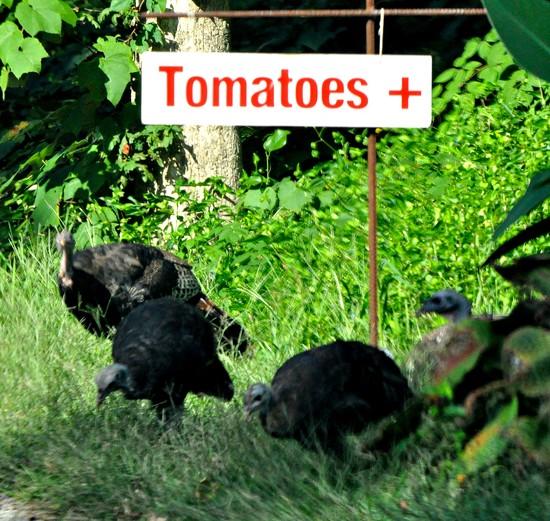 Tomatoes + turkeys? by sailingmusic