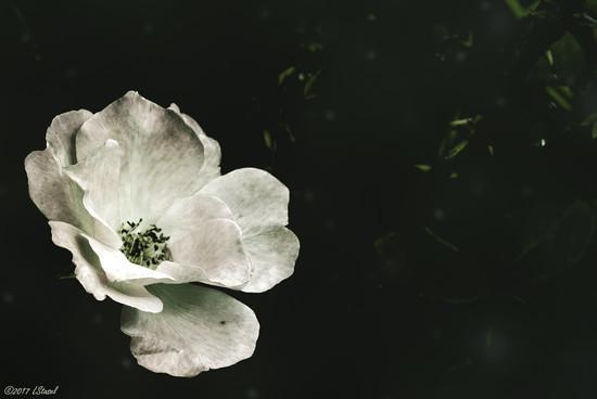 Rose by lstasel