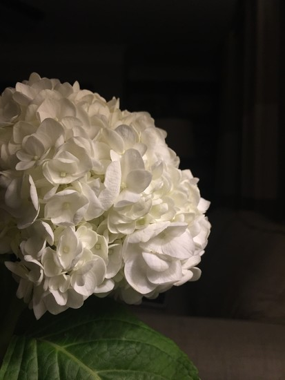 I do love hydrangeas in my home by jnorthington