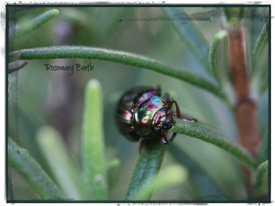 The Rosemary Beetle by jamibann
