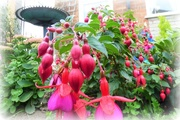 13th Sep 2017 - Fuchsias in abundance