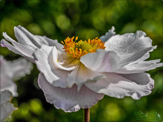Japanese Anemone by carolmw
