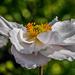 Japanese Anemone by carolmw