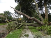 11th Sep 2017 - Irma Aftermath - Tree Down
