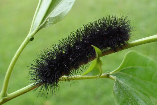 Wooly Bear Caterpillar by cjwhite