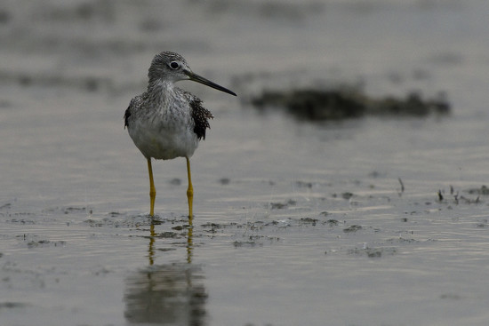 lesser yellowlegs getting blown about by mjalkotzy