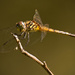 Dragonfly on a Stick! by rickster549