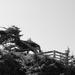 NF-SOOS-2017 Windblown Tree