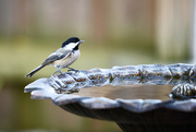 14th Sep 2017 - Hanging out at the bird bath!