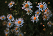 14th Sep 2017 - Heath Aster in the Early Light