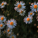 Heath Aster in the Early Light by milaniet