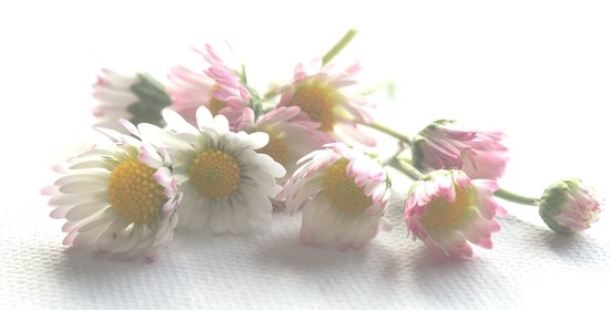 Lawn daisys by Dawn