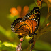 Viceroy Butterfly on the Berries! by rickster549