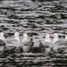 Ringbilled Gulls