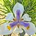 Indigenous Iris....... by ludwigsdiana