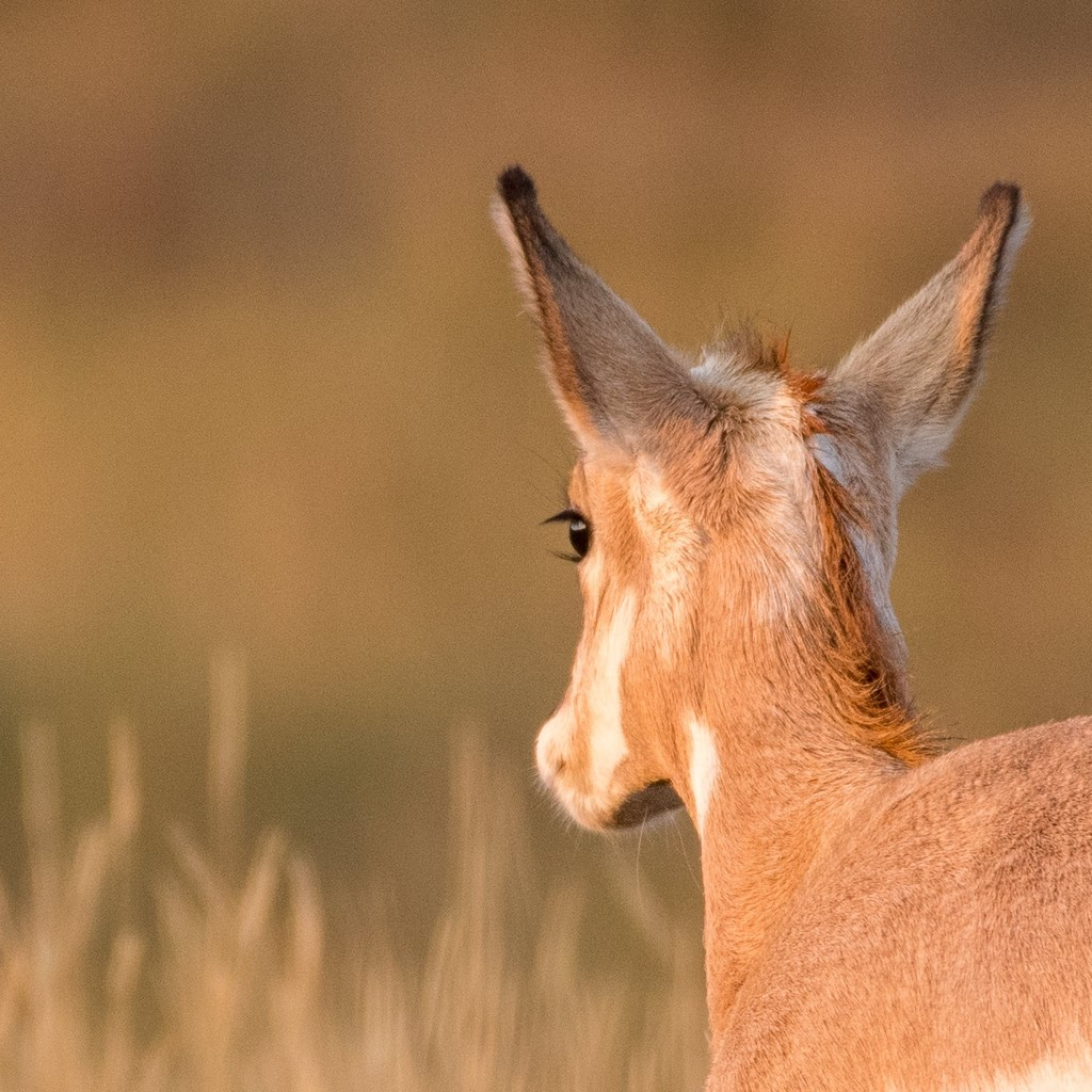 Young Pronghorn by dridsdale
