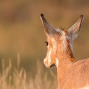 4th Sep 2017 - Young Pronghorn
