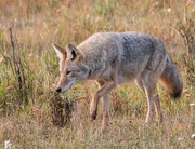 5th Sep 2017 - Coyote hunting for breakfast