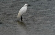 15th Sep 2017 - LITTLE EGRET - STANDING IN THE RAIN
