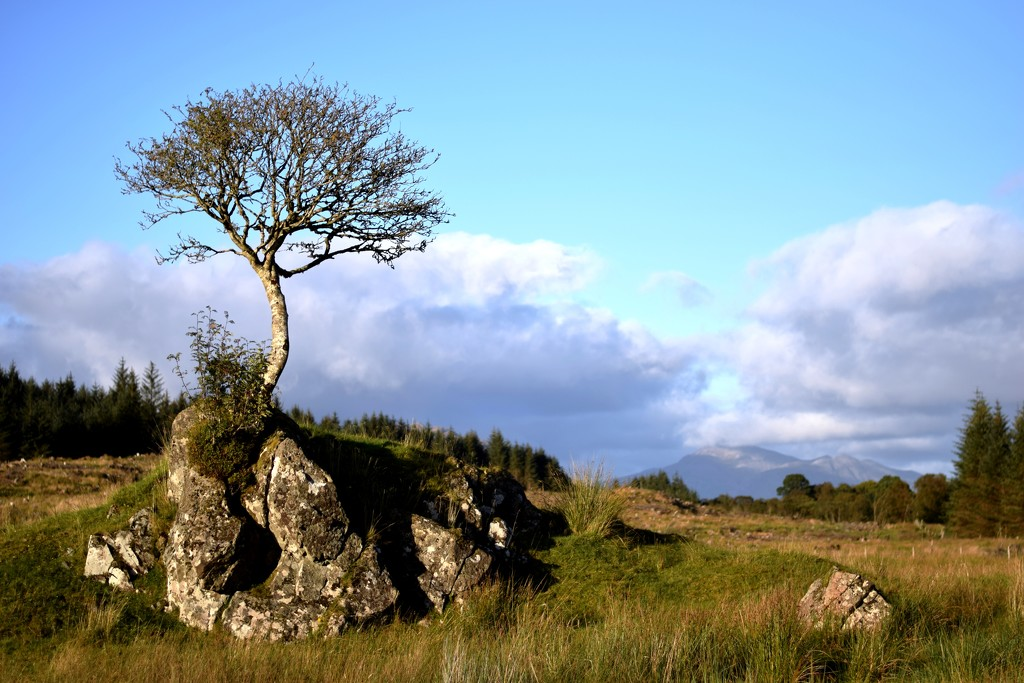 rowan tree by christophercox