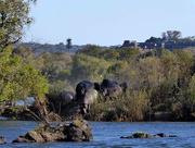 15th Sep 2017 - Hippos in the Zambezi
