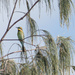 Rainbow Bee-eater in the Casuarina tree