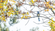 15th Sep 2017 - Bluejay and Yellow Leaves Wide