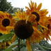 A big bunch of sunflowers!