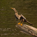 Anhinga Drying It's Wings! by rickster549