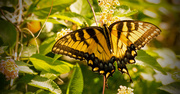 15th Sep 2017 - Eastern Tiger Swallowtail Butterfly!