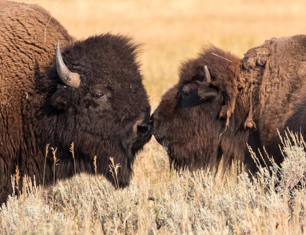 A little buffalo smooching by dridsdale