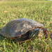 Golf Course Turtle