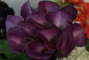 15th Sep 2017 - purple callas