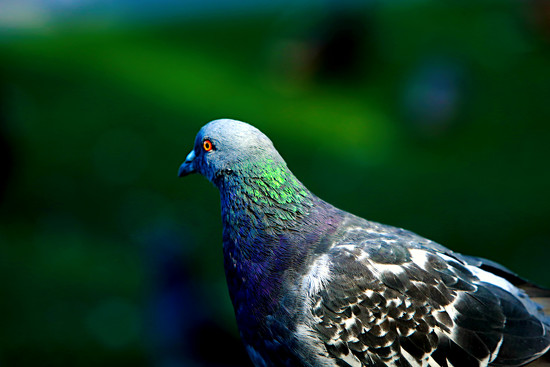 Pigeon in the Park by gq