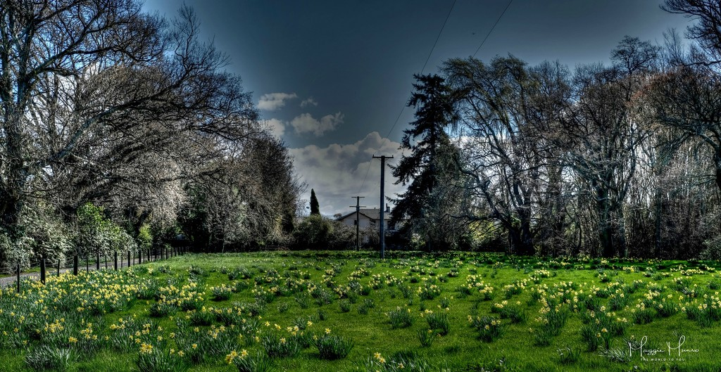 A Host of Golden Daffodils by maggiemae