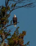 16th Sep 2017 - Bald Eagle
