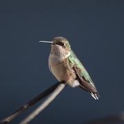 16th Sep 2017 - Hummingbird at end of the Season