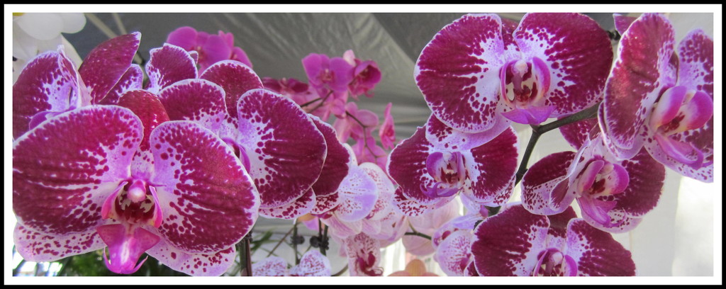 Orchids at the market by 777margo