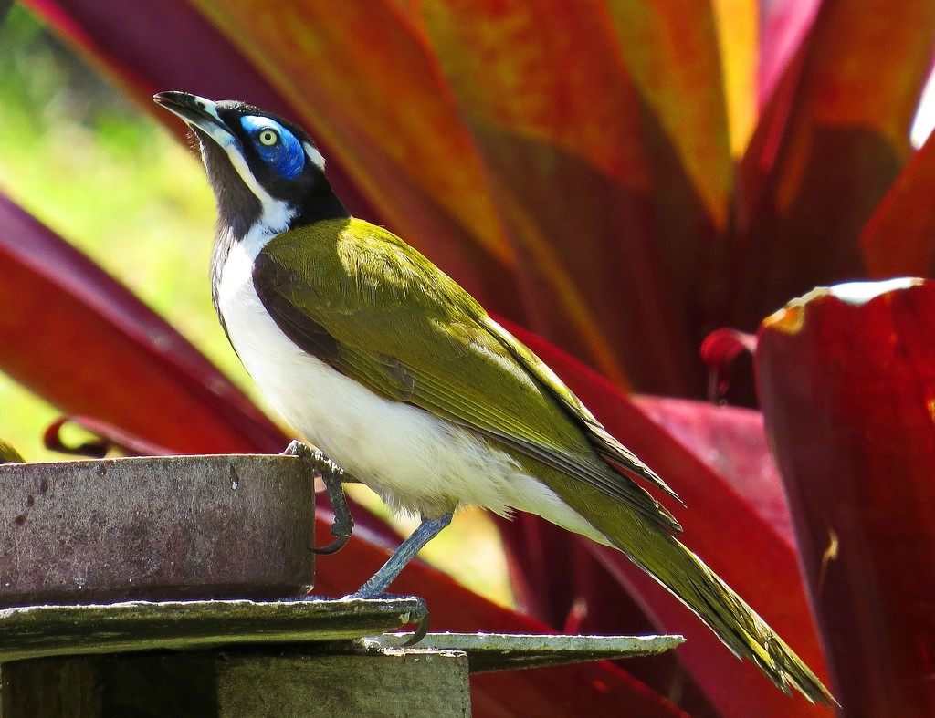 Blue Faced Honeyeater by terryliv
