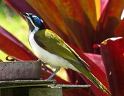 17th Sep 2017 - Blue Faced Honeyeater
