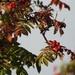 Rowan Berries