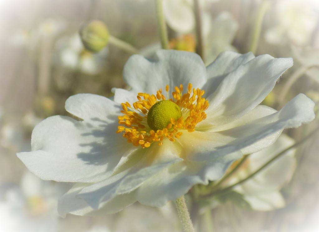 Japanese anenome II by flowerfairyann