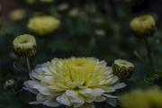 17th Sep 2017 - Chrysanthemum
