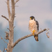 Peregrine falcon at sunrise