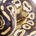 Young pythons