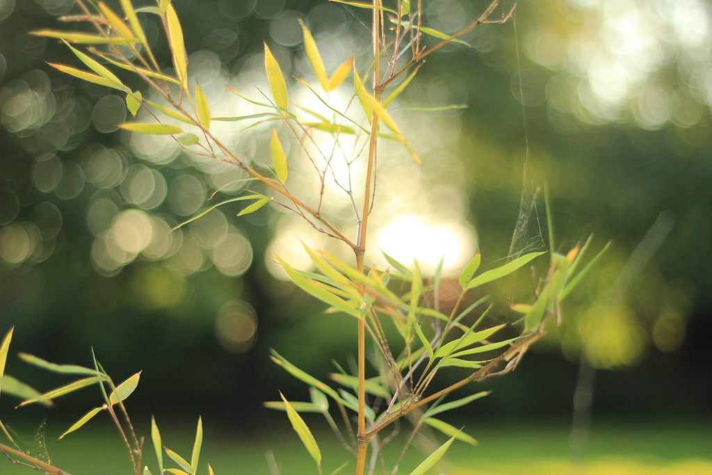 Bamboo and bokeh - SOOC by psychographer